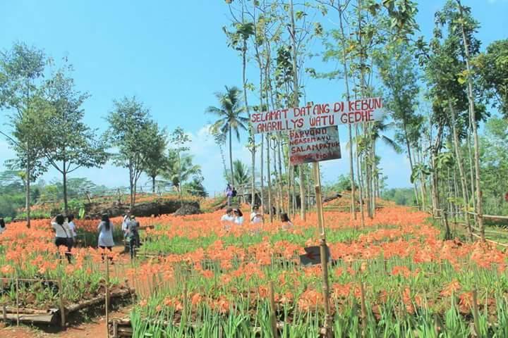 Indahnya Bunga Amaryllis Patuk Memanjakan Ratusan Wisatawan