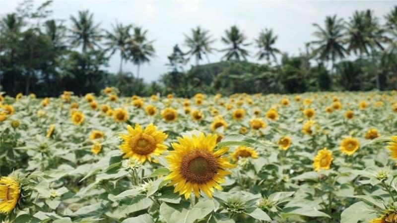 Kebun Bunga Taman Dewari Tempat Wisata Kekinian di Magelang